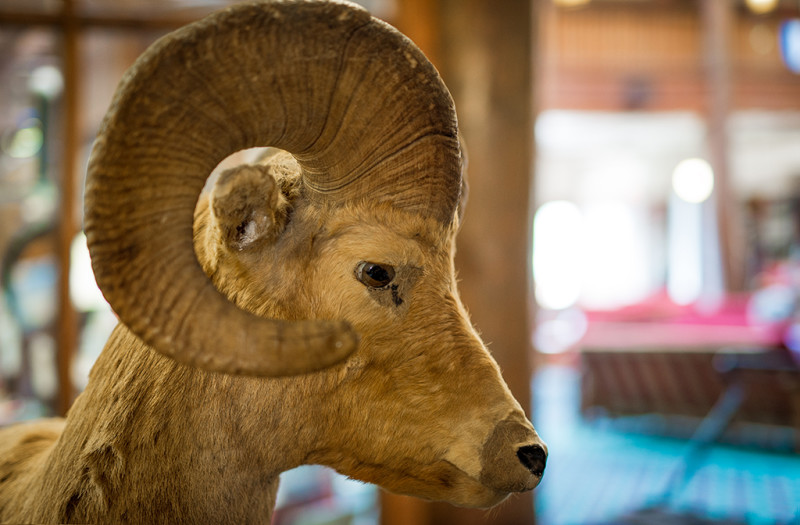 big-horn-taxidermy-many-glacier-hotel