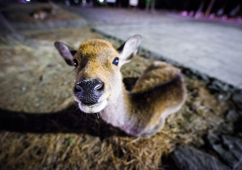 nara-japan-deer-278