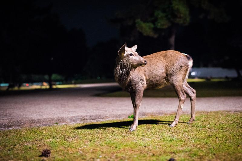 nara-japan-deer-279