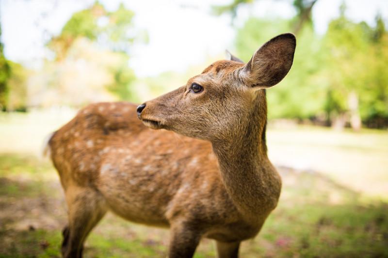 nara-japan-deer-292