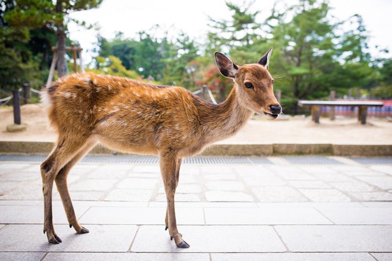 nara-japan-deer-295