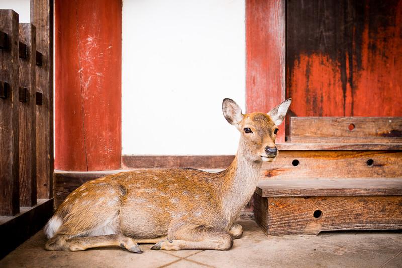nara-japan-deer-296