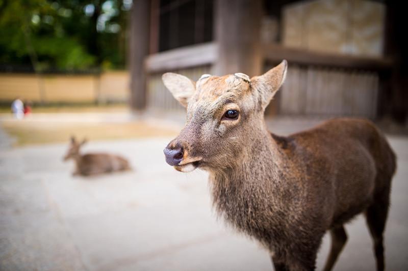 nara-japan-deer-299