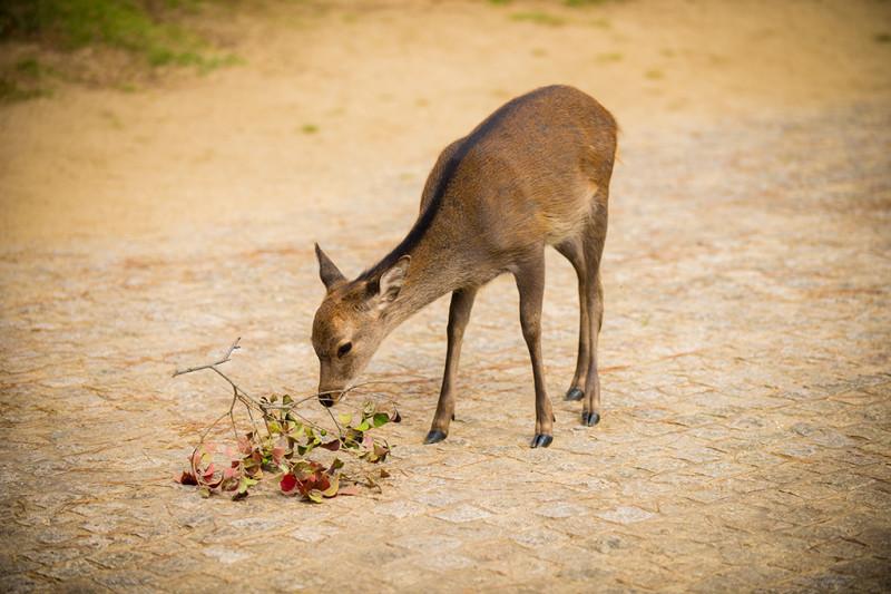 nara-japan-deer-304