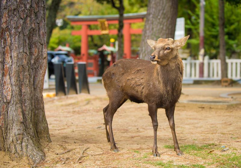 nara-japan-deer-319