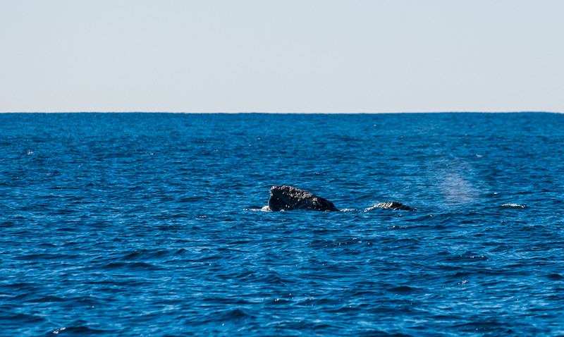 whale-watching-california-southern-dana-point-010