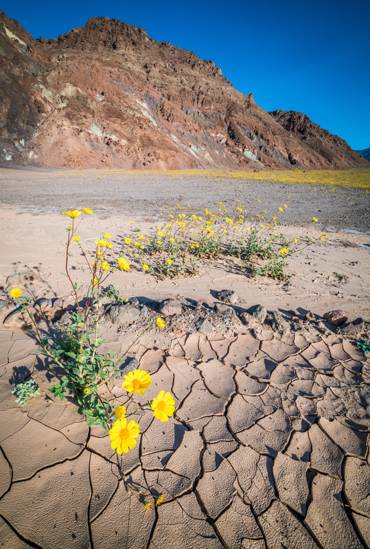 super-bloom-2016-death-valley-national-park-badwater-010