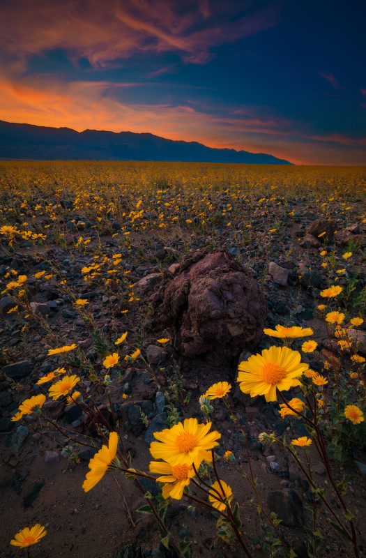 super-bloom-death-valley-national-park-ultra-wide-sunset