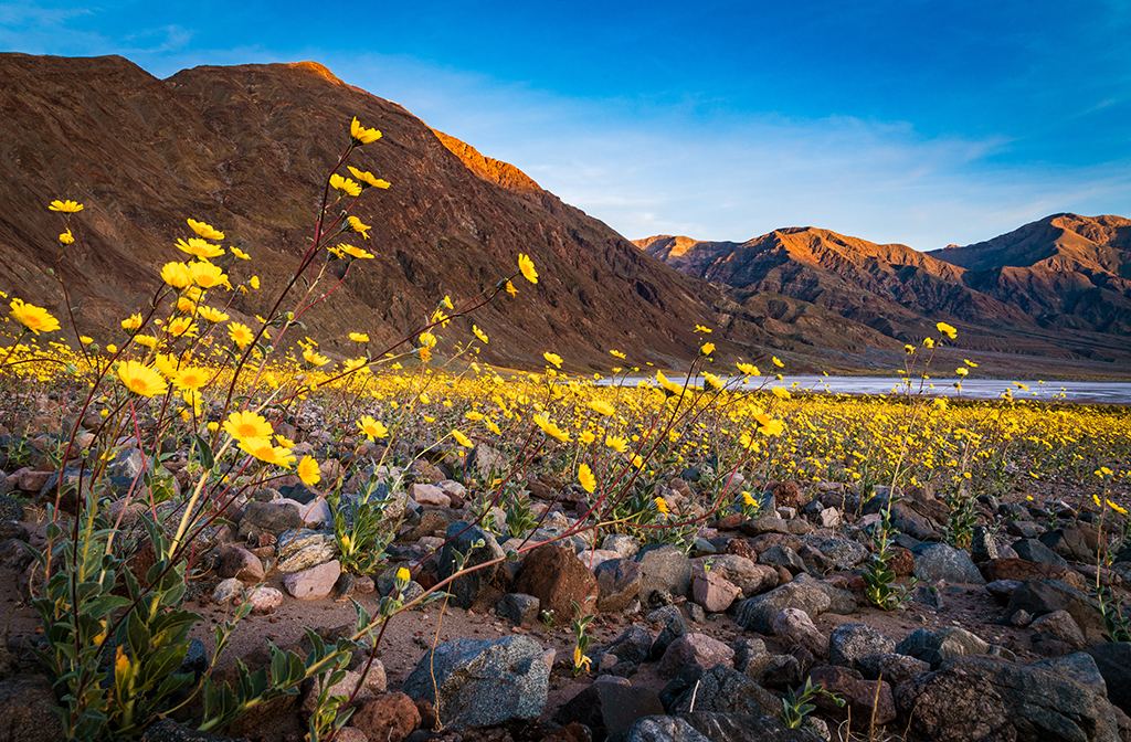 Super bloom at death valley national park travel caffeine super bloom wildflowers death valley national park mightylinksfo