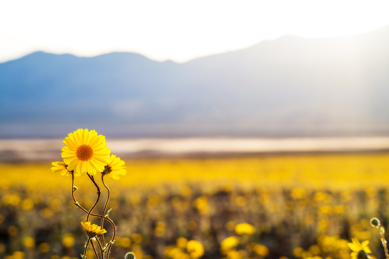 wildflower-death-valley-afternoon-light