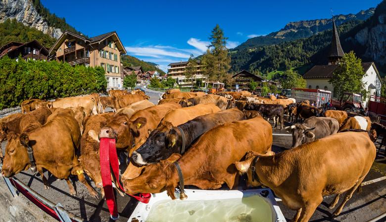 lauterbrunnen-switzerland-swiss-alps-cows-427