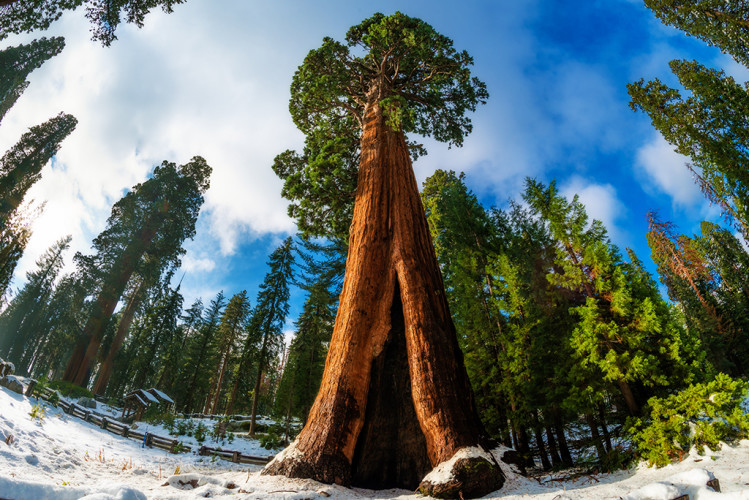 sentinel-tree-giant-forest-museum-snow-sequoia-national-park