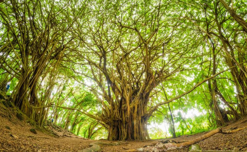 banyan-tree-big-island-rainbow-falls-fisheye-bricker