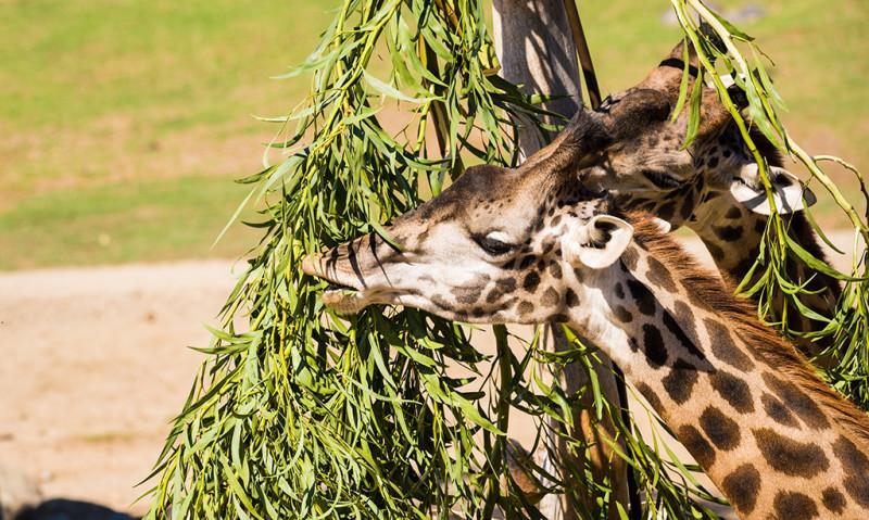 safari-park-san-diego-zoo-southern-california-798