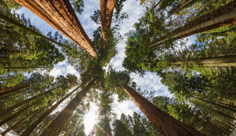sequoia-national-park-trees-upward-sunburst-fisheye