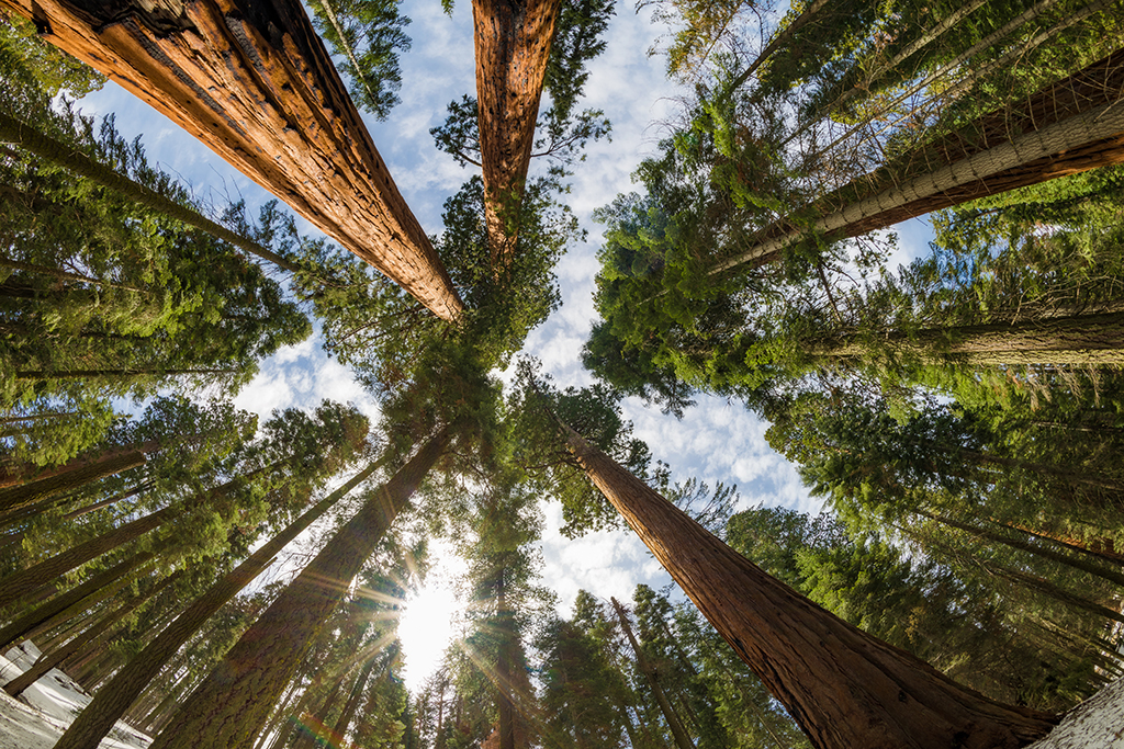 Image result for sequoia