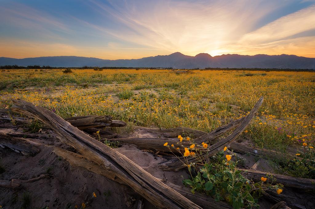 Anza Borrego Desert State Park Wildflower Super Bloom