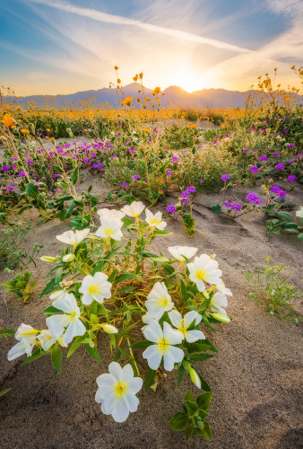 sunset-white-wildflowers-super-bloom-anza-borrego-desert-state-park-california-bricker