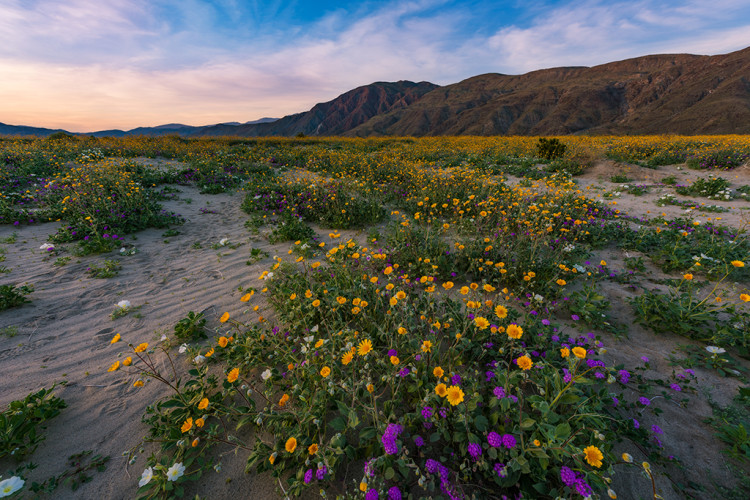 sunset-wide-wildflowers-super-bloom-anza-borrego-desert-state-park-california-bricker