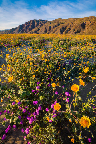 sunset-wildflowers-super-bloom-anza-borrego-desert-state-park-california-bricker