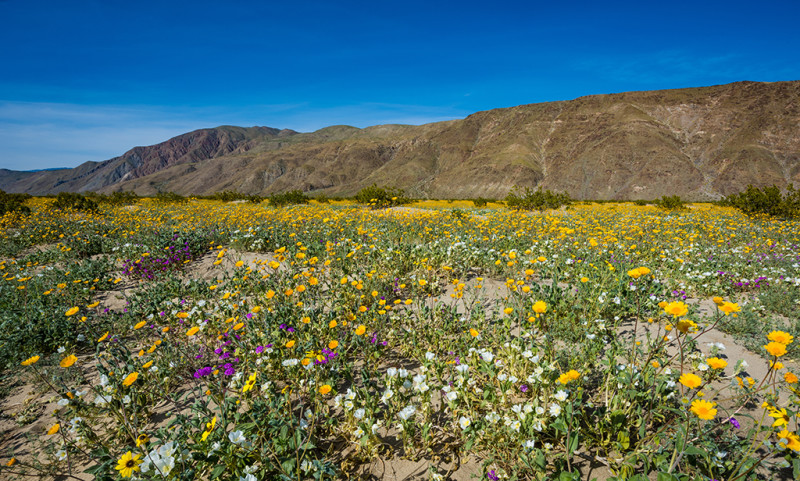 super-bloom-anza-borrego-desert-state-park-california-wildflowers-623