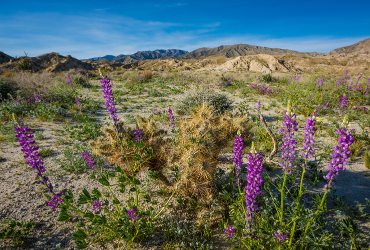 super-bloom-anza-borrego-desert-state-park-california-wildflowers-625