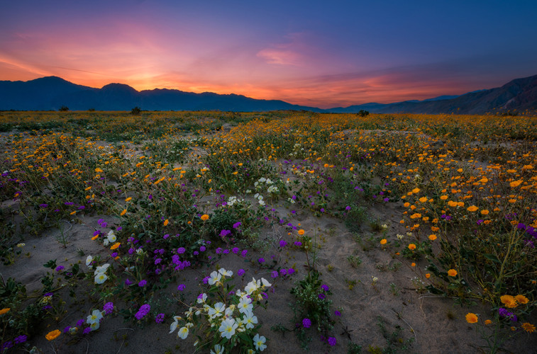 super-bloom-anza-borrego-desert-state-park-california-wildflowers-dusk