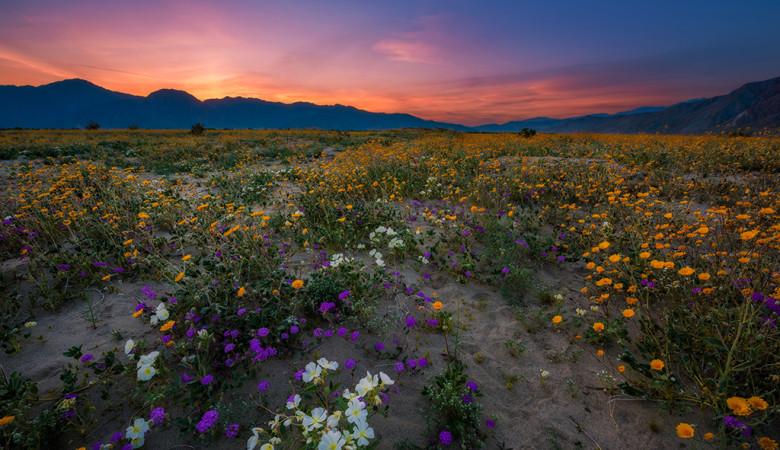 super-bloom-anza-borrego-desert-state-park-california-wildflowers-dusk