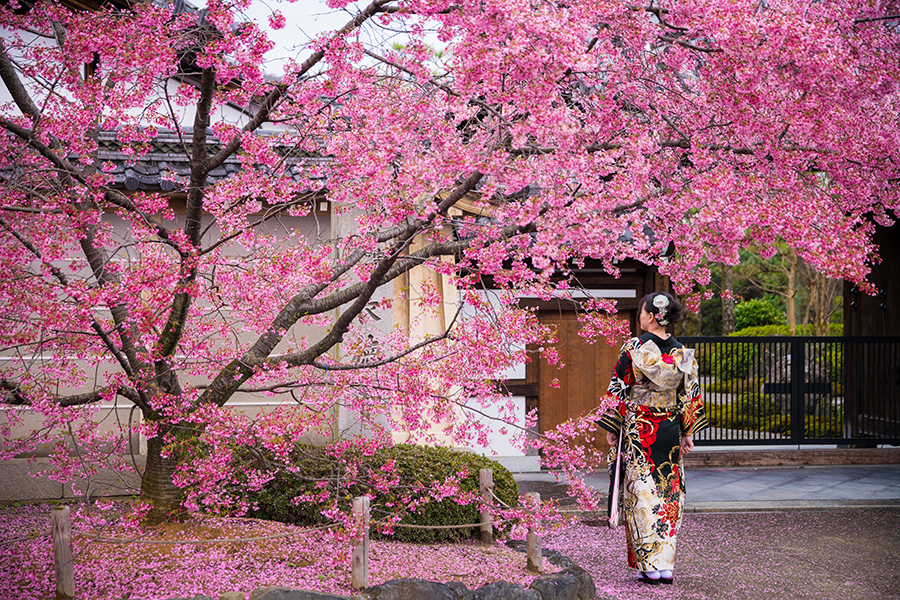 Kyoto Cherry Blossom Guide Amp Sakura Viewing Tips Travel