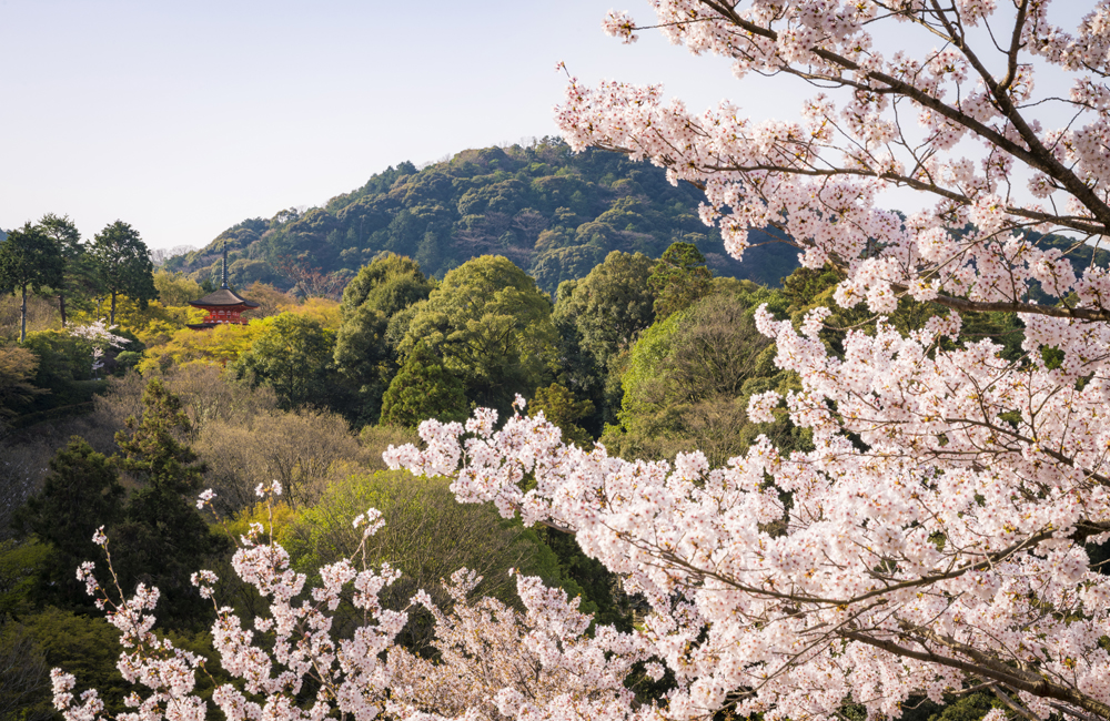 The Most Por Times To Visit Kyoto Are For Sakura Cherry Blossom Season In Early April And Fall Colors Mid Late November